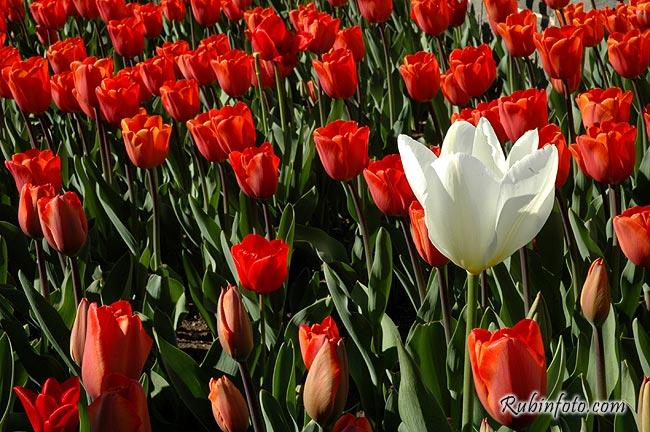Tulip.jpg
